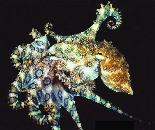 octopus_lunulata.jpg